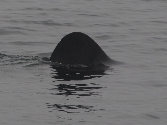 Basking shark photographed in the Bay of Fundy by Laurie Murison on July 3, 2013.